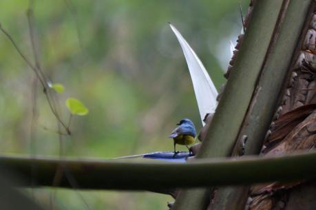 Collared Sunbird - Mike Stead