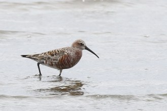 Curlew Sandpiper - Paul Bartho
