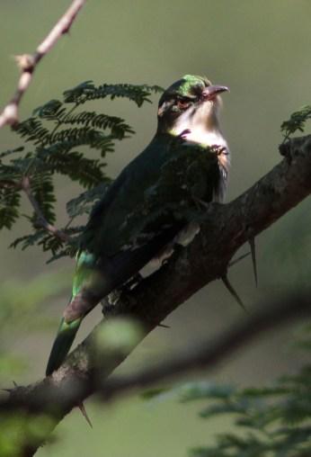 Diederik Cuckoo (Photo credit - David Swanepoel)