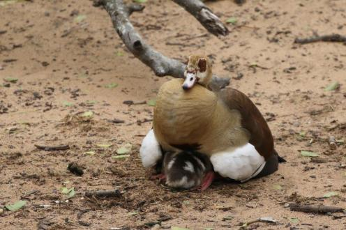 Egyptian Goose and 8 Goslings