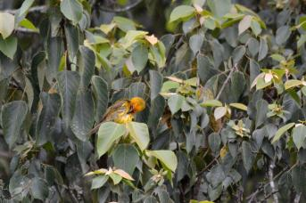 Spectacled Weaver -Mike Stead