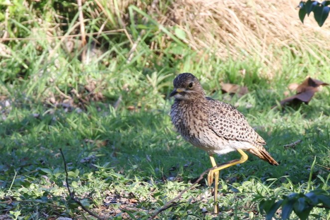 Spotted Thick-knee - Paul Bartho