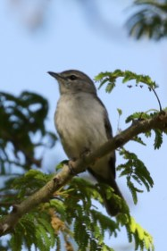 Spotted Flycatcher - Paul Bartho