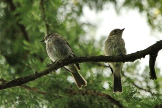 African Dusky Flycatchers - mum or dad and tot (EJ Bartlett)