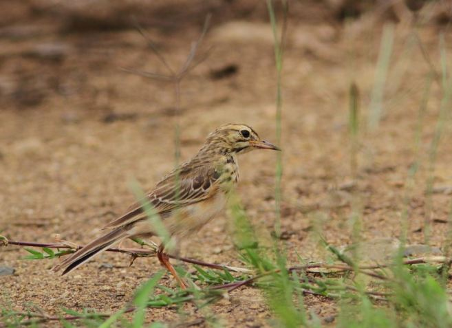 African Pipit - David Swanepoel