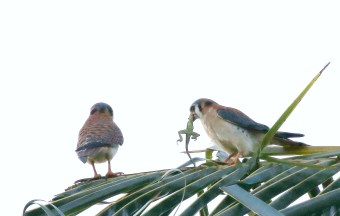 American Kestrels - male and female and lizard