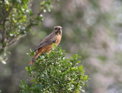 Female Cape Rock-Thrush - Paul Bartho