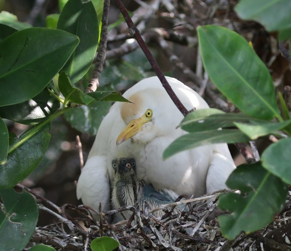 Cattle Egret and chicks - check the chick's eyes.