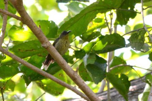 Olive Sunbird - Jenny Stead
