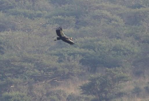Grey-crowned Crane - Paul Bartho