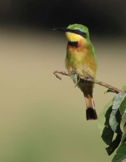 Little Bee-eater - David Swanepoel
