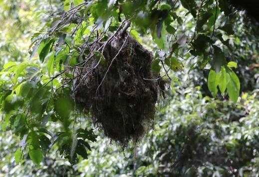 Jamaican Becard nest