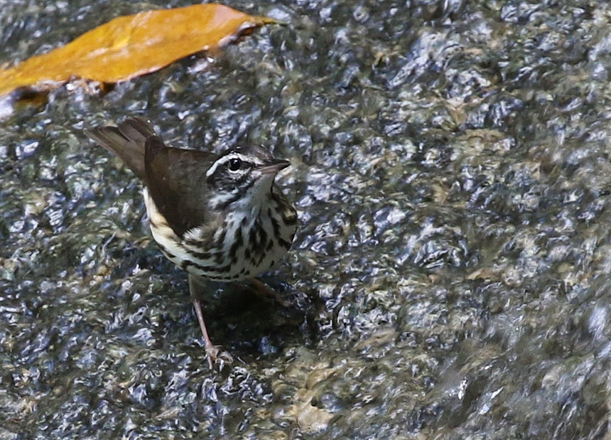 Loiusiana Waterthrush