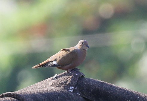 Mourning Dove- Zenadia