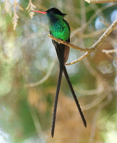 Red-billed Streamertail - Jamaica's National bird