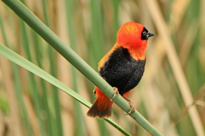Southern Red Bishop (EJ Bartlett) (2