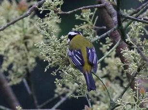 Jamaican Stripe-headed Tanager -aka Jamaican Spindalis