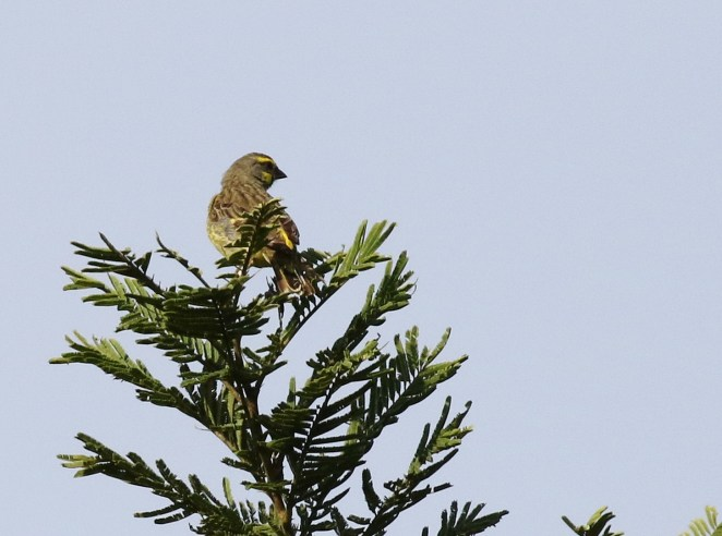 Yellow-fronted Canary - Paul Bartho