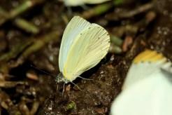Ant-heap Small White- Elton Bartlett