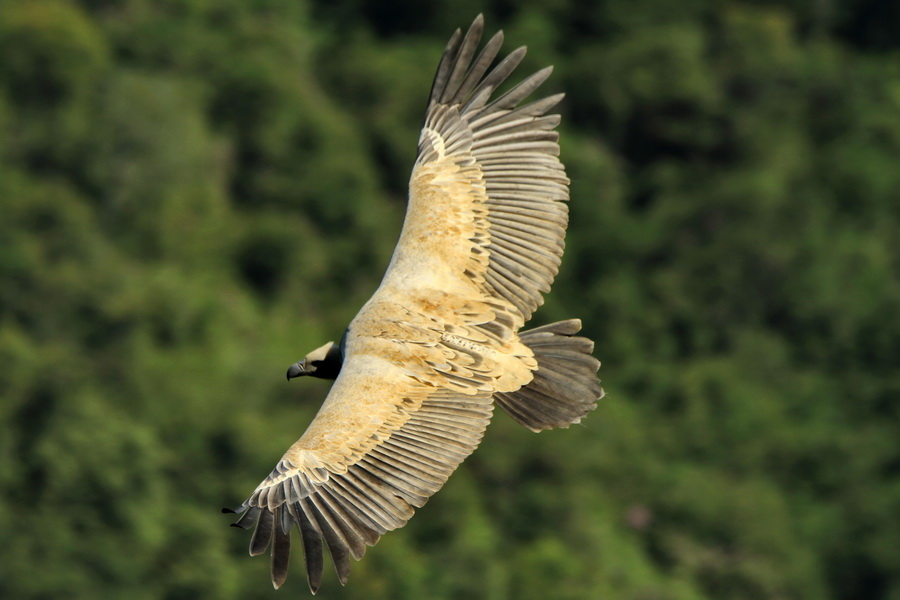 Cape Vulture - Elton Bartlett
