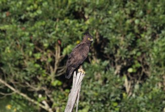 The Long-crested Eagle
