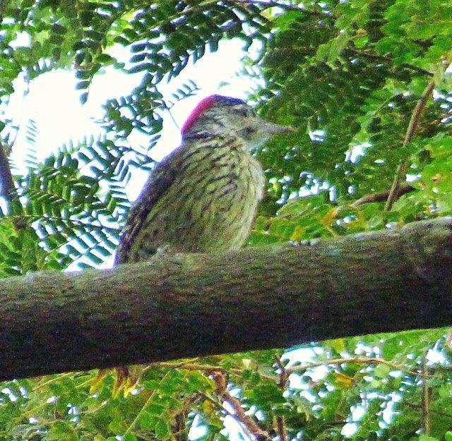 Cardinal Woodpecker - Sheryl Halstead