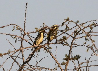 Acacia Pied Barbets
