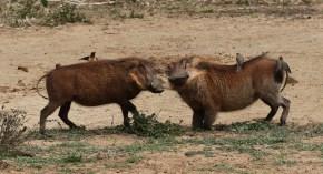Battling Warthogs