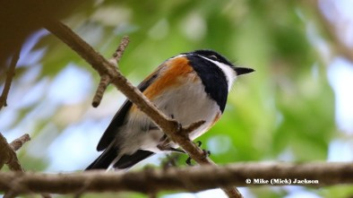 Cape Batis male - Mick Jackson