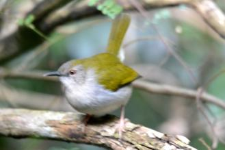 Green-backed Cameroptera -Mike Stead