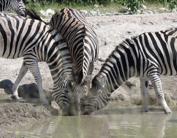 A triage of Burchell's Zebra