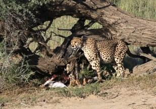 Cheetah and cubs on kill