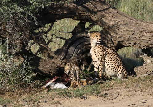 Cheetah and cubs on kill