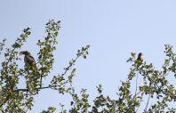 Damara Hornbill and Rosy-faced Lovebird