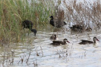 Glossy Ibis Red-knobbed Coot and Red-billed Teal