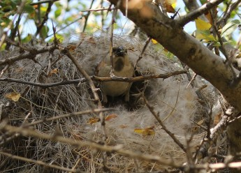 Great Sparrow coming out of nest