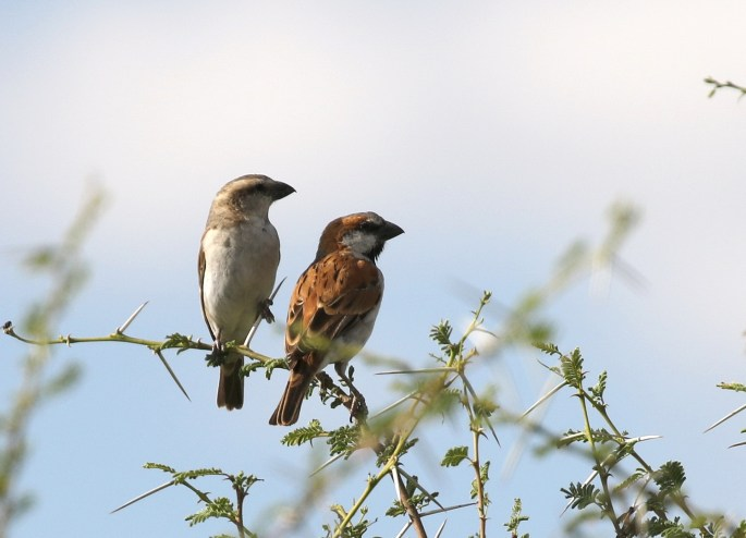 Great Sparrows