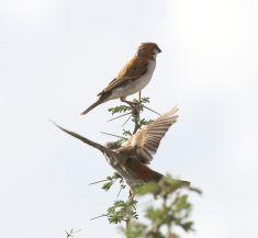 Great Sparrows