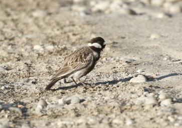 Grey-backed Finch-Lark