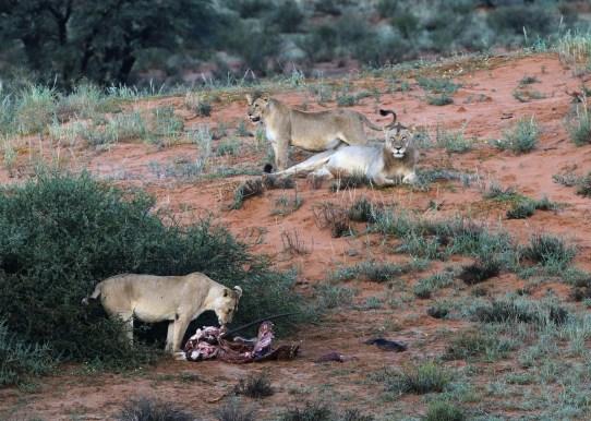 Lionesses guarding an Oryx kill