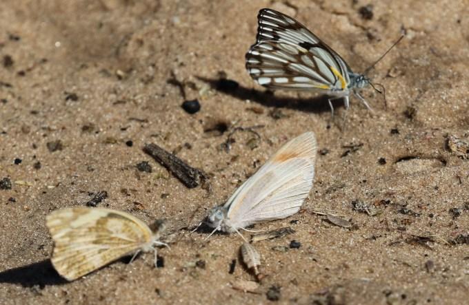 Mixed Bag of Butterflies