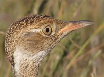 Northern Black Korhaan female close up