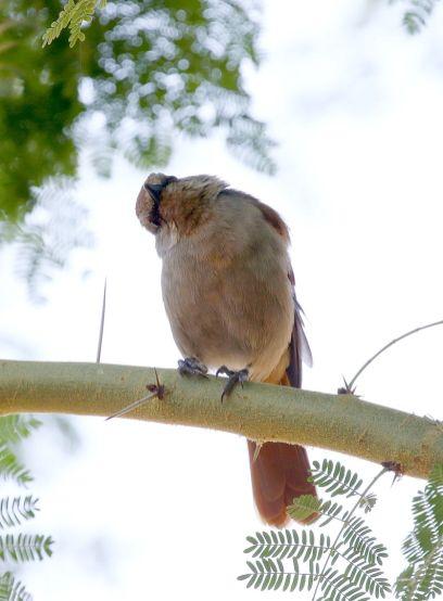 Rufous-tailed Palm-Thrush