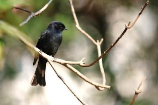 Southern Black Flycatcher - John Bremner