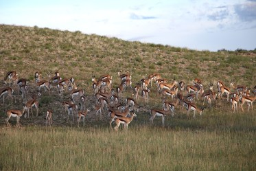 A hillside of Springbok