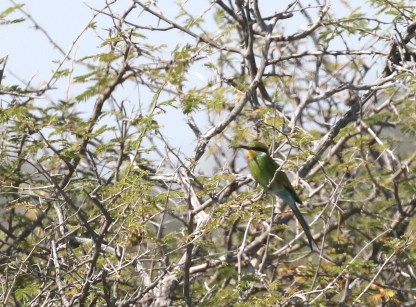 Swallow-tailed Bee-eater - adult