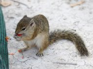 Tree Squirrell