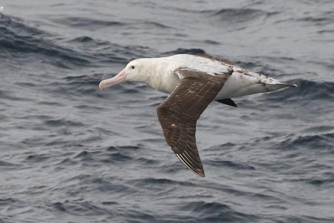 Tristan Albatross