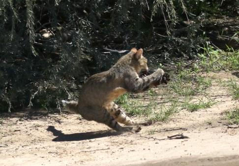 Wildcat - gotcha