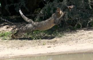 Wildcat - here I come